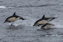 Common Dolphins spotted from the ferry to Rum