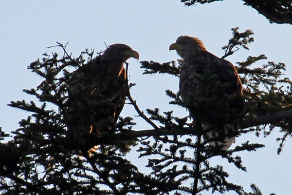 White-tailed eagles seen on the shores of Loch Shiel near to Mingarry Lodges