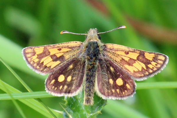 Chequered skipper butterfly seen near Mingarry Lodges