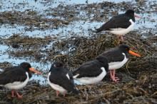 Oystercatchers on the shores of Loch Eil