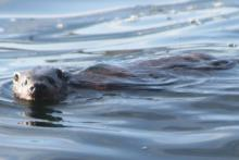 Otter swimming in Loch Moidart