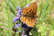 Pearl bordered fritillary at Glasdrum National Nature Reserve