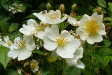 Scented roses make for a sensory walk