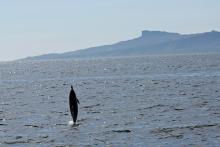 The Isle of Eigg, and a common dolphin
