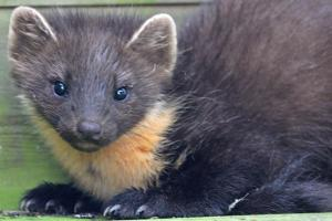 Pine martens are regular visitors to the cabins